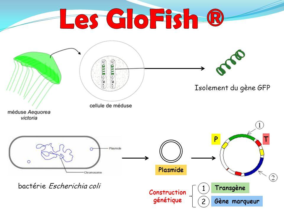 bactérie Escherichia coli Plasmide 1 2 Gène marqueur Transgène Construction génétique P T Isolement du gène GFP