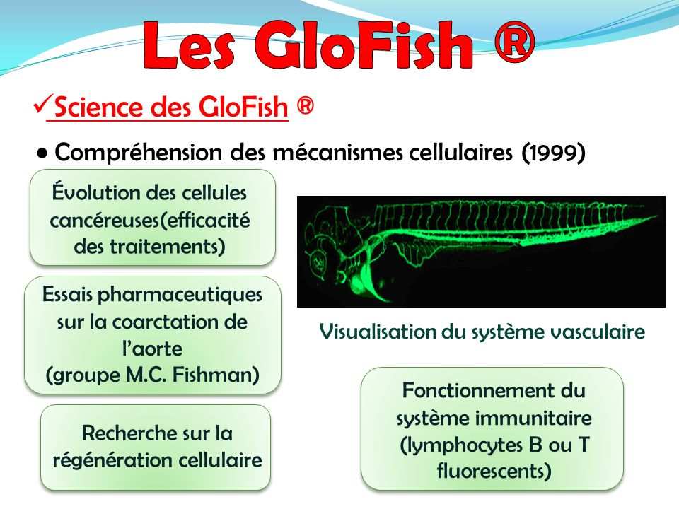 Science des GloFish ® Compréhension des mécanismes cellulaires (1999) Recherche sur la régénération cellulaire Visualisation du système vasculaire Évo