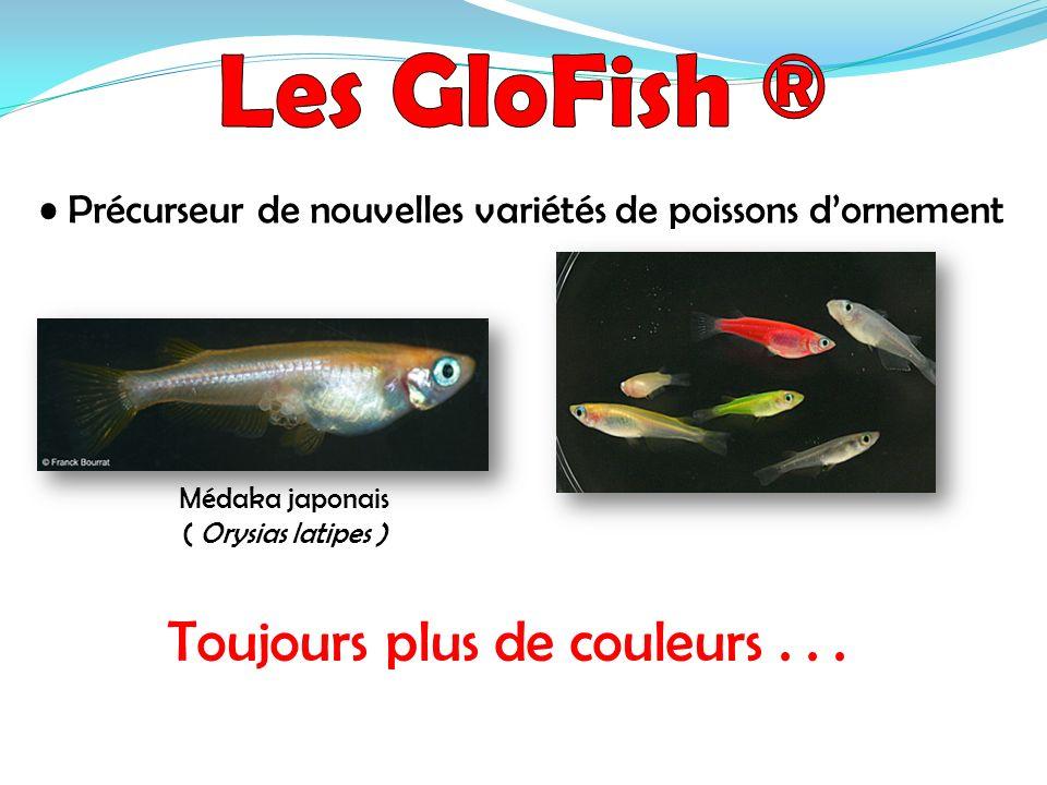 Précurseur de nouvelles variétés de poissons dornement Médaka japonais ( Orysias latipes ) Toujours plus de couleurs...