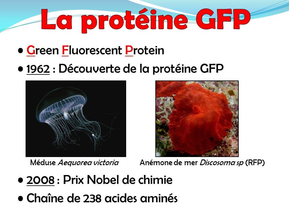 Green Fluorescent Protein 1962 : Découverte de la protéine GFP Méduse Aequorea victoria Anémone de mer Discosoma sp (RFP) 2008 : Prix Nobel de chimie
