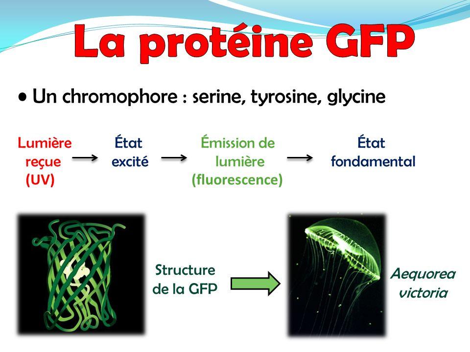 Un chromophore : serine, tyrosine, glycine Lumière État Émission de État reçue excité lumière fondamental (UV) (fluorescence) Aequorea victoria Struct
