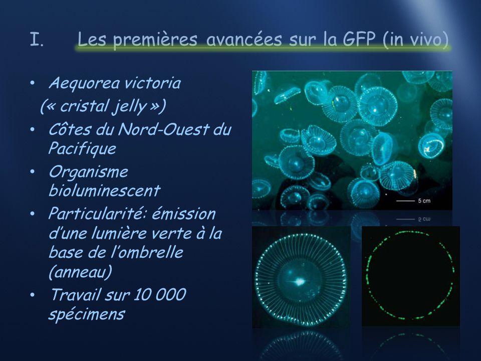 I.Les premières avancées sur la GFP (in vivo) Protéine bioluminescente ou photoprotéine Inhibition réversible à certains pH Organes lumineux (anneaux) Extrait (pH 4) Extrait (pH neutre) Forte luminescence Faible luminescence Pas de luminescence tampon pH4 filtration NaHCO 3 Eau de mer soit Ca 2+