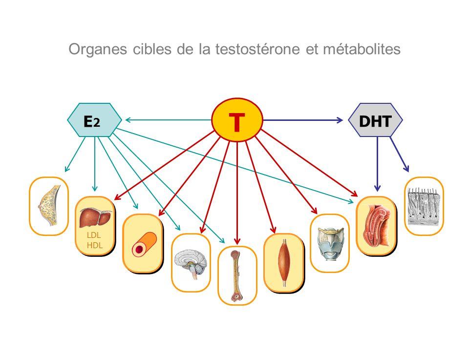 Organes cibles de la testostérone et métabolites DHT E2E2 T LDL HDL LDL HDL