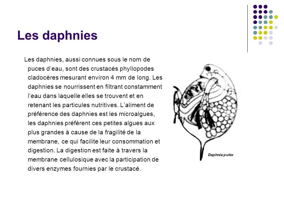 Les daphnies Les daphnies, aussi connues sous le nom de puces deau, sont des crustacés phyllopodes cladocères mesurant environ 4 mm de long.