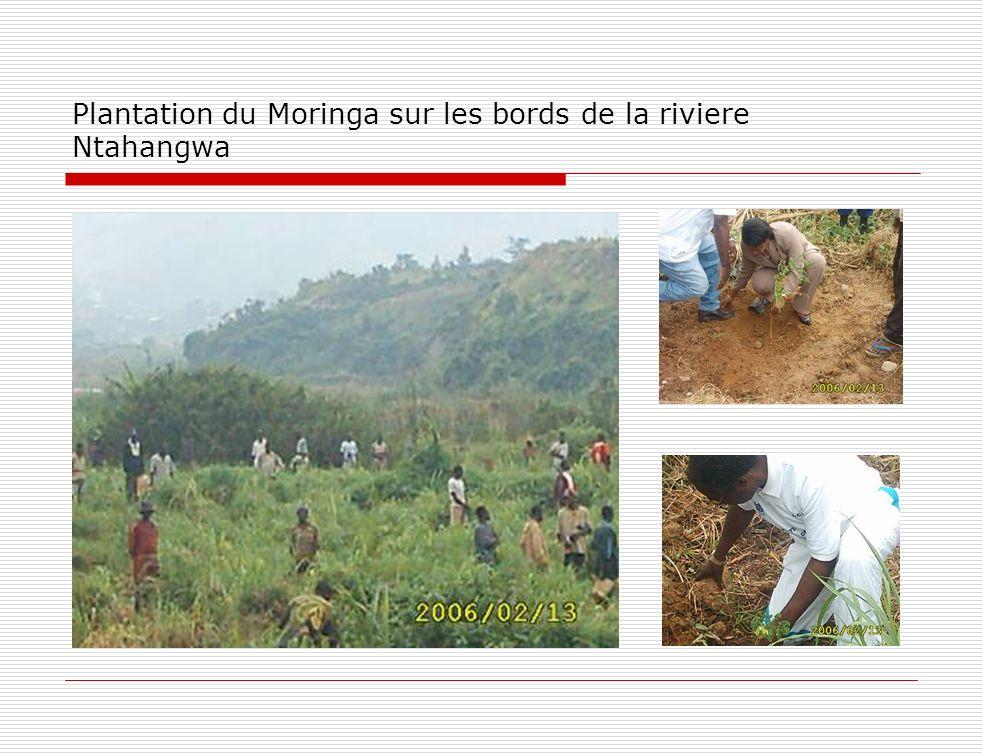 Plantation du Moringa sur les bords de la riviere Ntahangwa