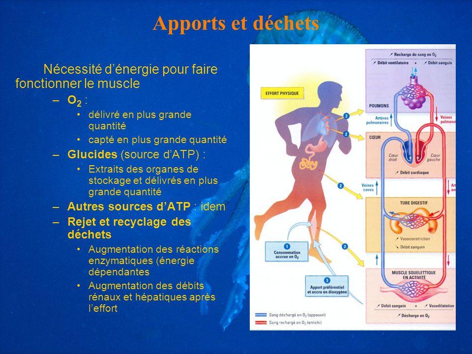 Apports et déchets Nécessité dénergie pour faire fonctionner le muscle –O 2 : délivré en plus grande quantité capté en plus grande quantité –Glucides