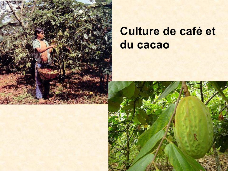 Culture de café et du cacao