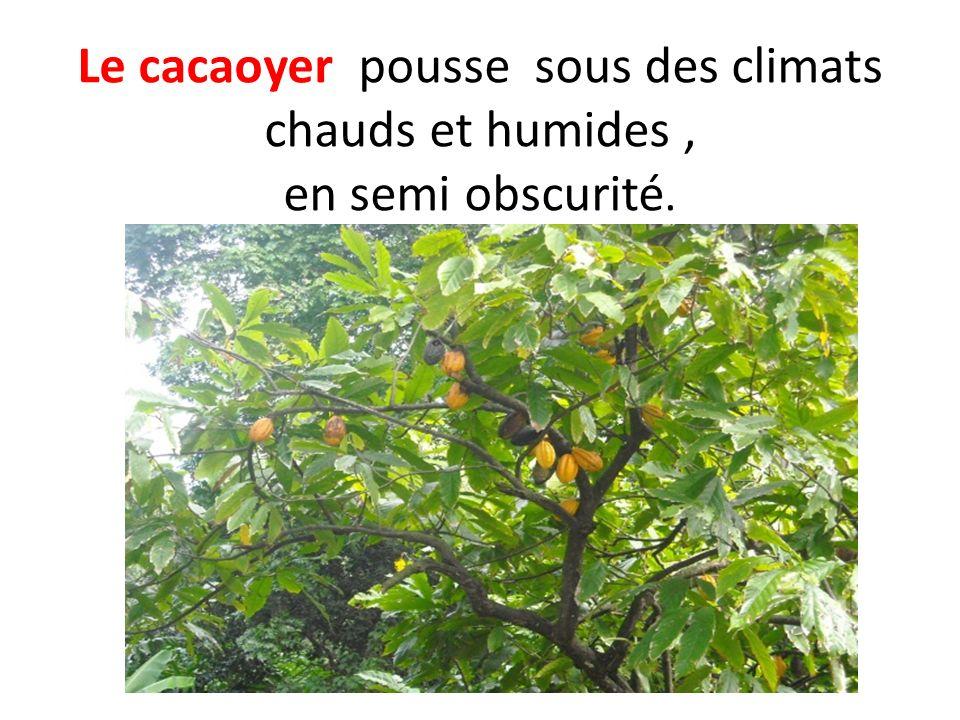 Le cacaoyer pousse sous des climats chauds et humides, en semi obscurité.