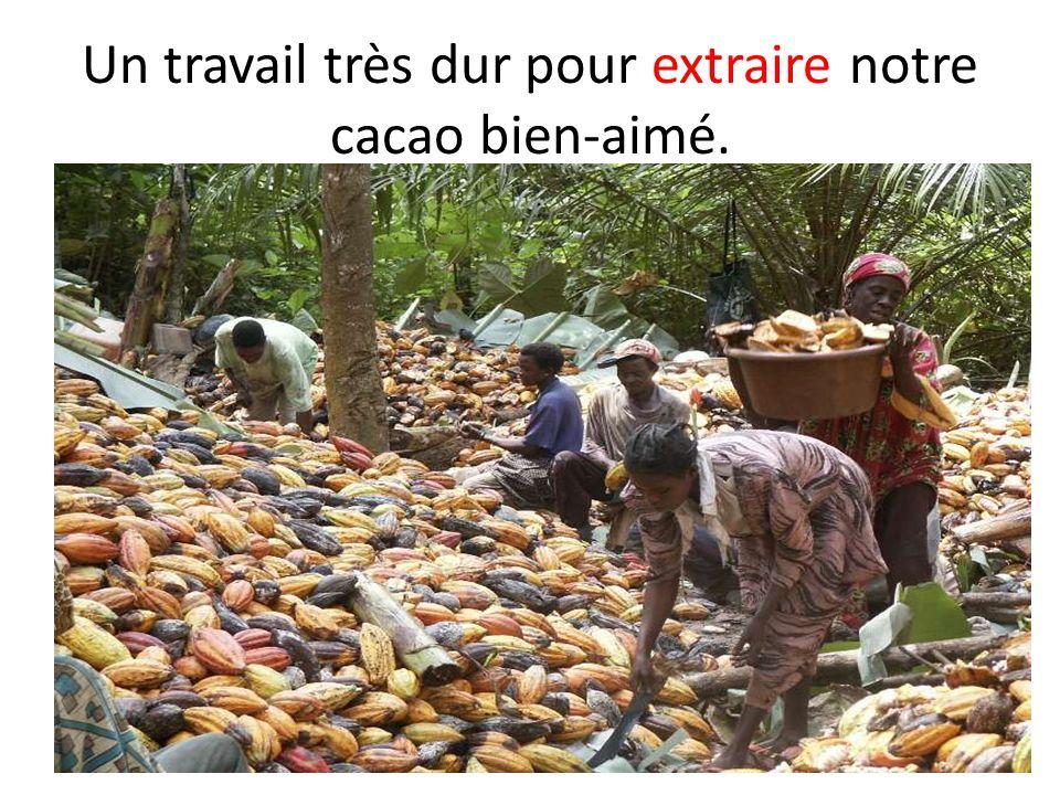 Un travail très dur pour extraire notre cacao bien-aimé.