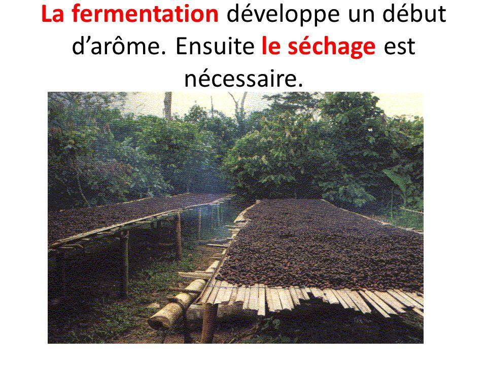 La fermentation développe un début darôme. Ensuite le séchage est nécessaire.