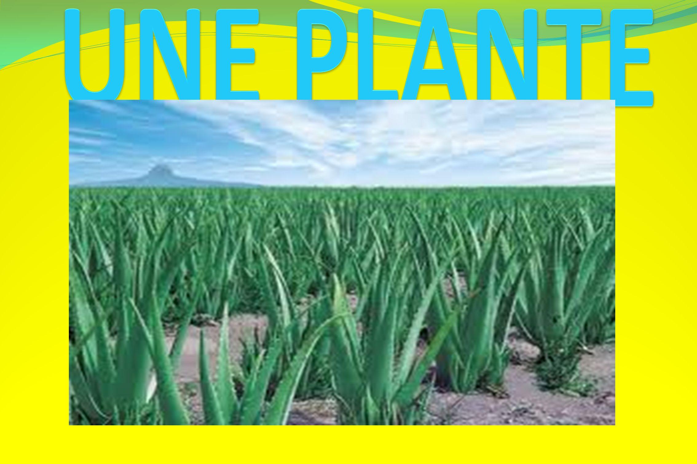 MULTI-MACA COMPOSITION : La valeur nutritive d une racine s é ch é e de Maca (similaire aux graines c é r é aliaires telles que le riz et le bl é ) contient : 60 % de carboxylase, 10 % de prot é ines, 8,5 % de fibres, 2,2 % de lipides FORME ET PRESENTATION : Comprim é s bo î te de 60 CONSEILLE POUR : Accro î tre les performances physiques et sexuelles Stimuler la libido, l é nergie et la puissance sexuelle.