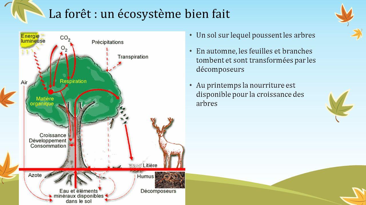 La forêt : un écosystème bien fait Un sol sur lequel poussent les arbres En automne, les feuilles et branches tombent et sont transformées par les déc