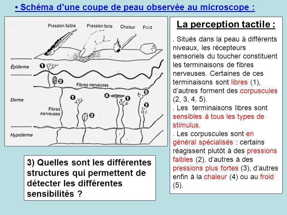 Schéma dune coupe de peau observée au microscope : La perception tactile :. Situés dans la peau à différents niveaux, les récepteurs sensoriels du tou