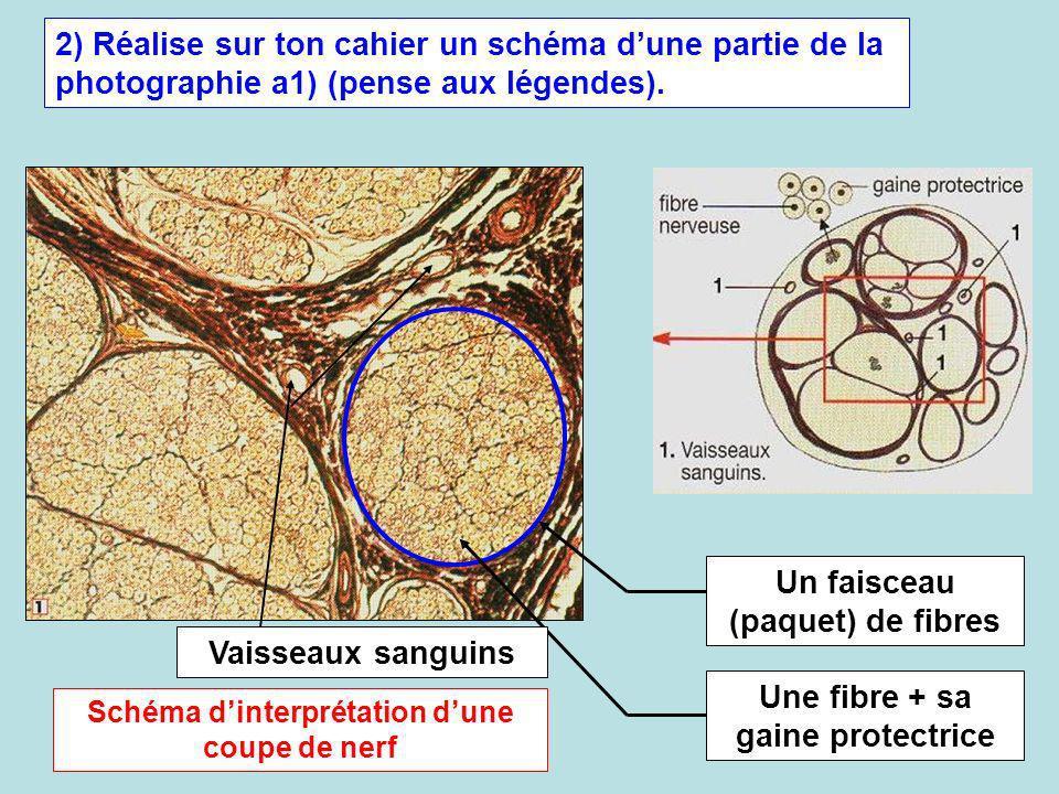 2) Réalise sur ton cahier un schéma dune partie de la photographie a1) (pense aux légendes). Un faisceau (paquet) de fibres Une fibre + sa gaine prote