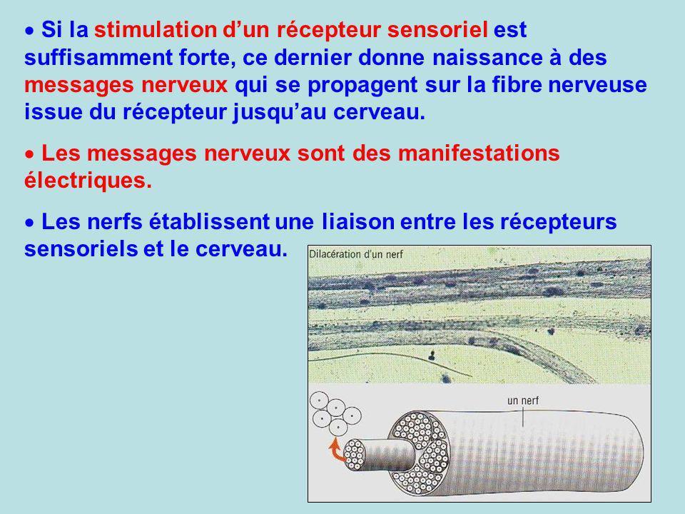 Si la stimulation dun récepteur sensoriel est suffisamment forte, ce dernier donne naissance à des messages nerveux qui se propagent sur la fibre nerv