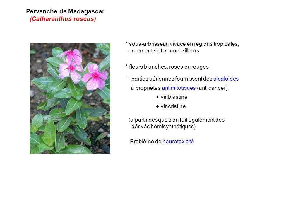 Pervenche de Madagascar (Catharanthus roseus) * sous-arbrisseau vivace en régions tropicales, ornemental et annuel ailleurs * parties aériennes fourni