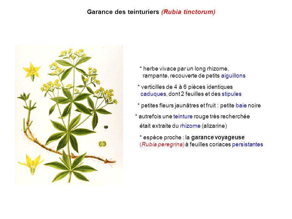 Garance des teinturiers (Rubia tinctorum) * autrefois une teinture rouge très recherchée était extraite du rhizome (alizarine) * herbe vivace par un l