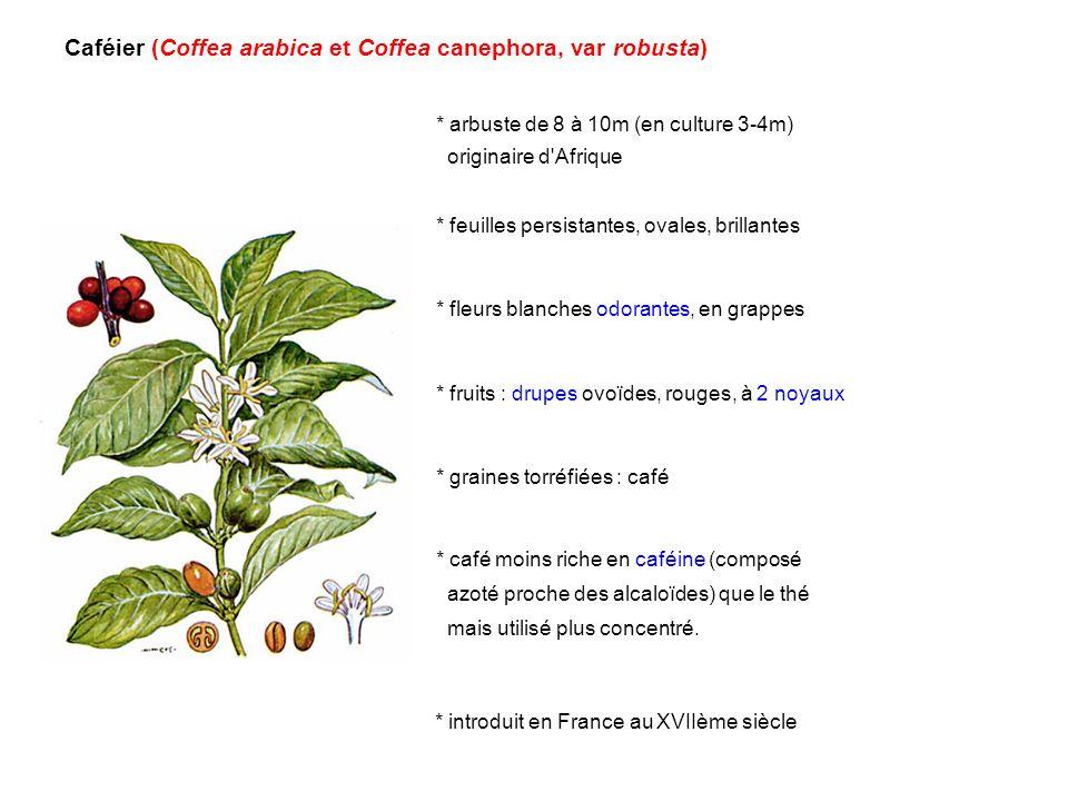 Caféier (Coffea arabica et Coffea canephora, var robusta) * arbuste de 8 à 10m (en culture 3-4m) originaire d'Afrique * feuilles persistantes, ovales,