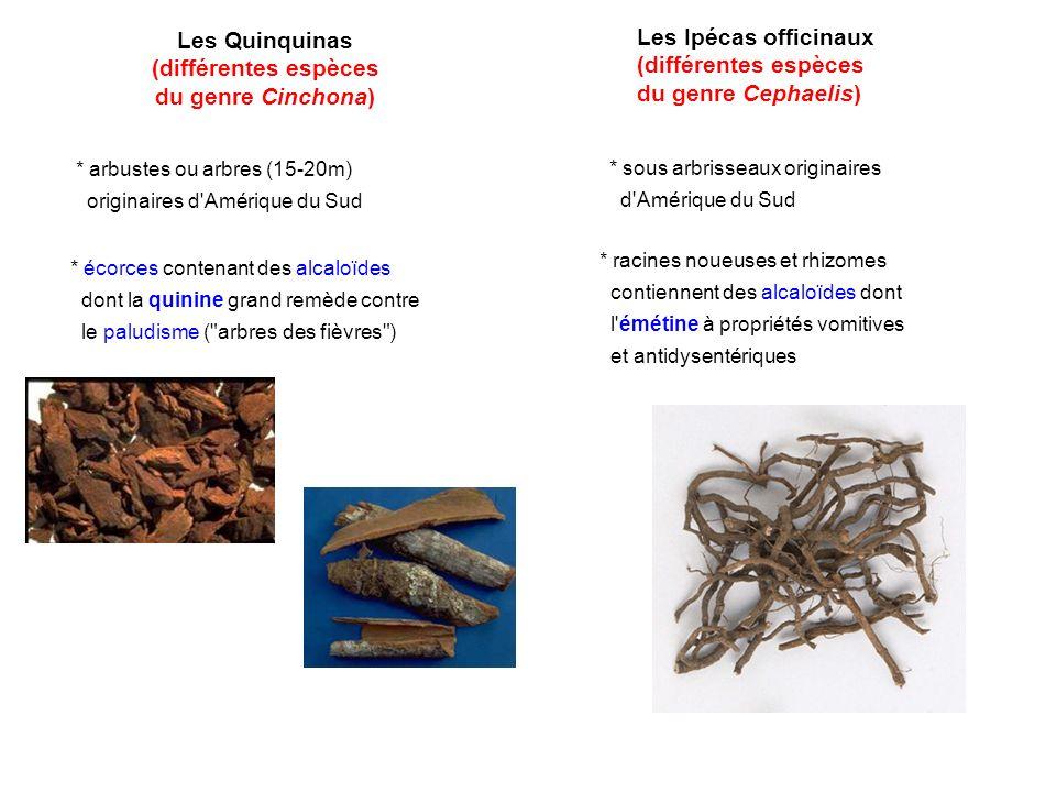 Les Quinquinas (différentes espèces du genre Cinchona) * arbustes ou arbres (15-20m) originaires d'Amérique du Sud * écorces contenant des alcaloïdes