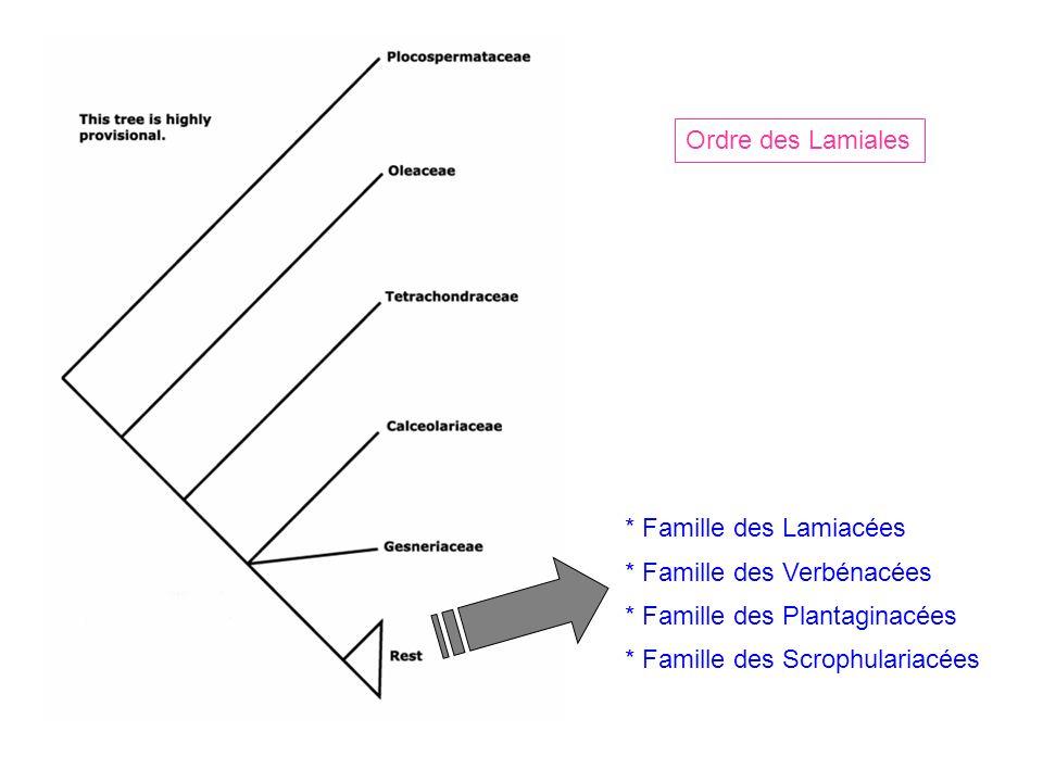 Ordre des Lamiales * Famille des Lamiacées * Famille des Verbénacées * Famille des Plantaginacées * Famille des Scrophulariacées
