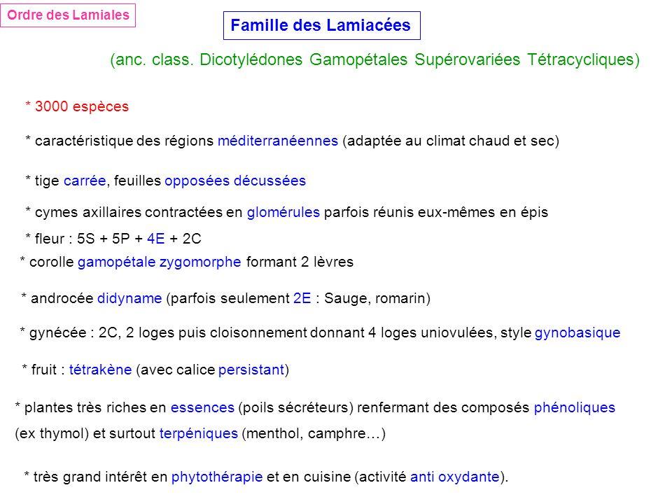 Ordre des Lamiales Famille des Lamiacées (anc. class. Dicotylédones Gamopétales Supérovariées Tétracycliques) * 3000 espèces * caractéristique des rég