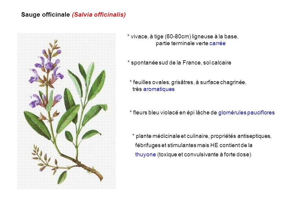 Sauge officinale (Salvia officinalis) * vivace, à tige (60-80cm) ligneuse à la base, partie terminale verte carrée * feuilles ovales, grisâtres, à sur