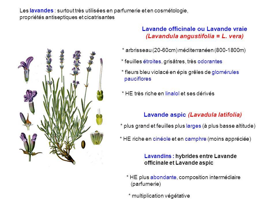 * arbrisseau (20-60cm) méditerranéen (800-1800m) Lavande officinale ou Lavande vraie (Lavandula angustifolia = L. vera) * feuilles étroites, grisâtres
