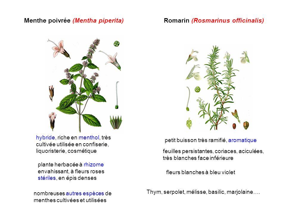 Menthe poivrée (Mentha piperita)Romarin (Rosmarinus officinalis) nombreuses autres espèces de menthes cultivées et utilisées hybride, riche en menthol