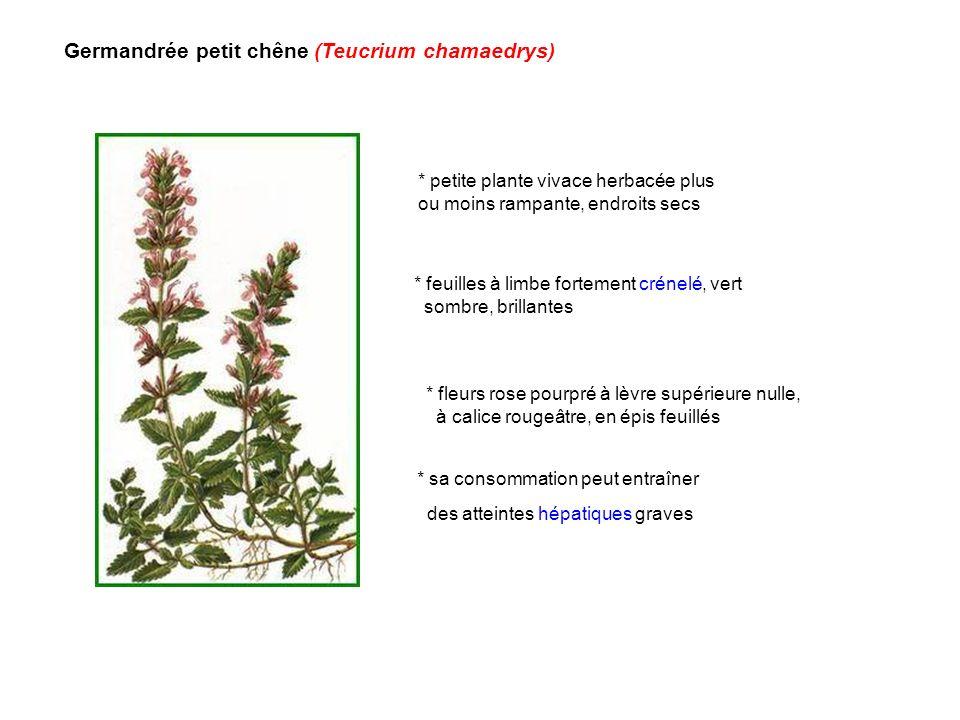 Germandrée petit chêne (Teucrium chamaedrys) * sa consommation peut entraîner des atteintes hépatiques graves * petite plante vivace herbacée plus ou