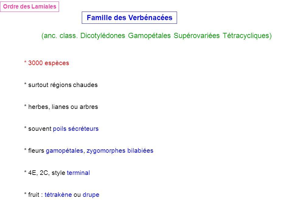 Ordre des Lamiales Famille des Verbénacées (anc. class. Dicotylédones Gamopétales Supérovariées Tétracycliques) * 3000 espèces * surtout régions chaud