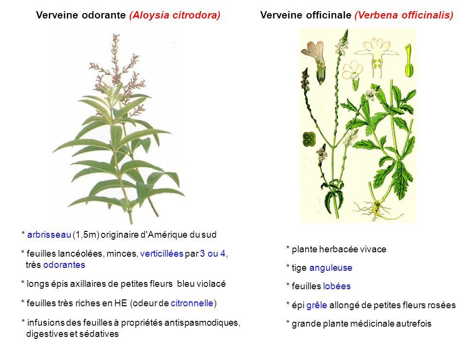 Verveine odorante (Aloysia citrodora) * arbrisseau (1,5m) originaire d'Amérique du sud * feuilles lancéolées, minces, verticillées par 3 ou 4, très od