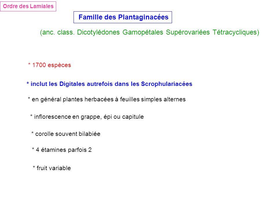 Ordre des Lamiales Famille des Plantaginacées (anc. class. Dicotylédones Gamopétales Supérovariées Tétracycliques) * inclut les Digitales autrefois da