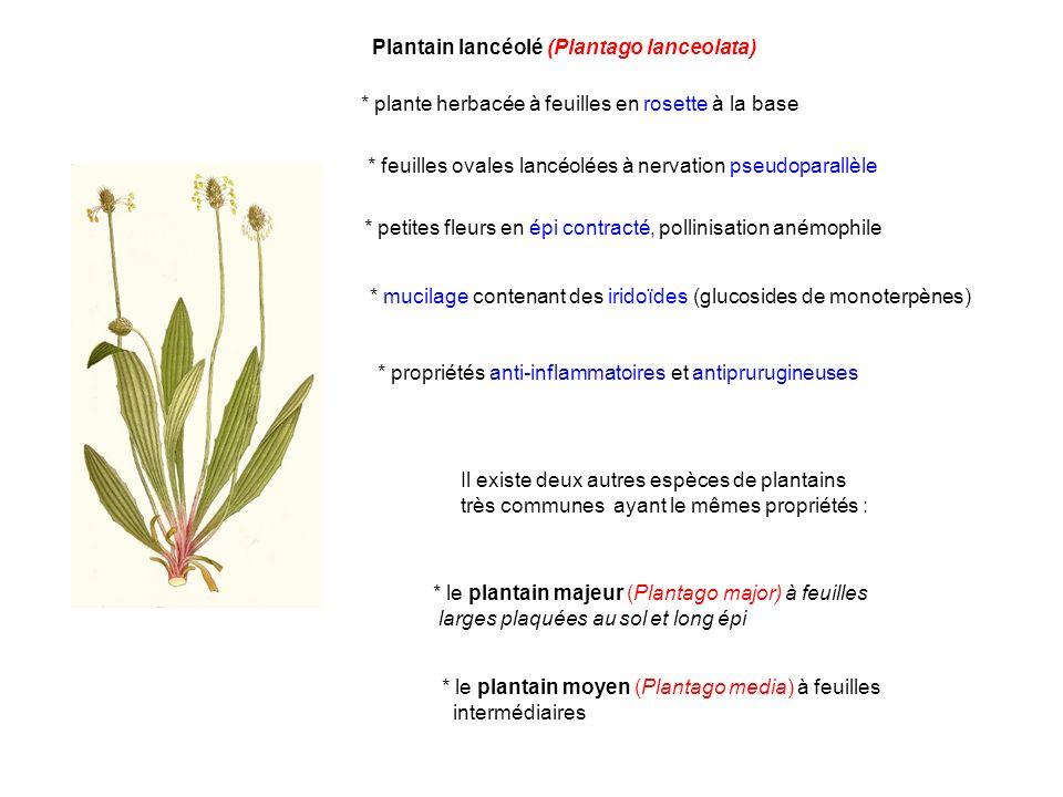 Plantain lancéolé (Plantago lanceolata) * plante herbacée à feuilles en rosette à la base * petites fleurs en épi contracté, pollinisation anémophile