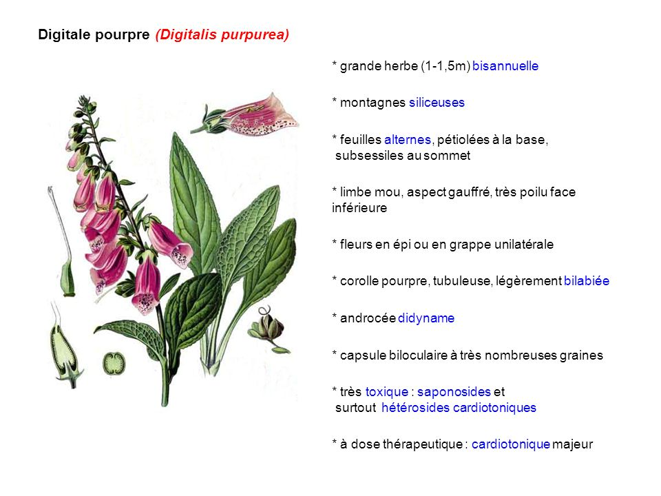 Digitale pourpre (Digitalis purpurea) * grande herbe (1-1,5m) bisannuelle * montagnes siliceuses * fleurs en épi ou en grappe unilatérale * feuilles a