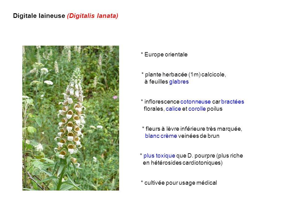 Digitale laineuse (Digitalis lanata) * Europe orientale * inflorescence cotonneuse car bractées florales, calice et corolle poilus * fleurs à lèvre in