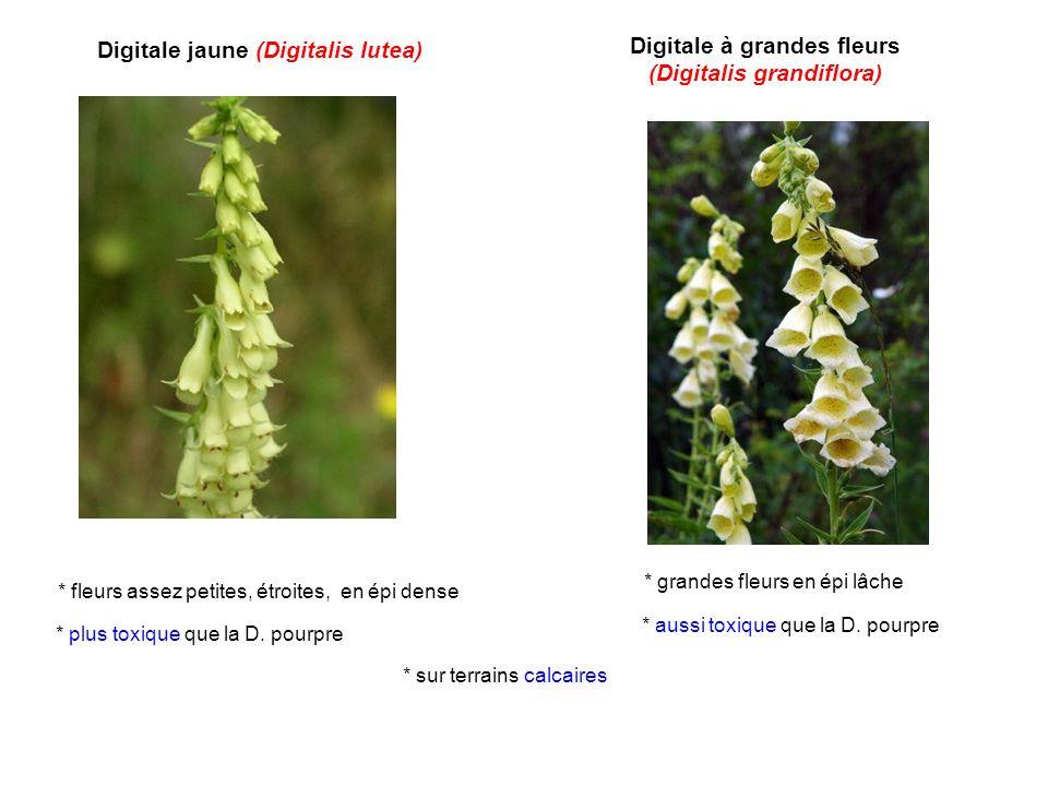 Digitale jaune (Digitalis lutea) Digitale à grandes fleurs (Digitalis grandiflora) * sur terrains calcaires * plus toxique que la D. pourpre * aussi t