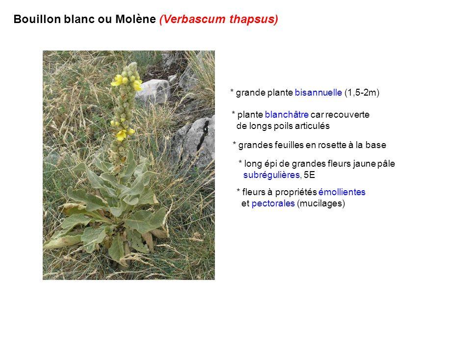 Bouillon blanc ou Molène (Verbascum thapsus) * grande plante bisannuelle (1,5-2m) * grandes feuilles en rosette à la base * plante blanchâtre car reco