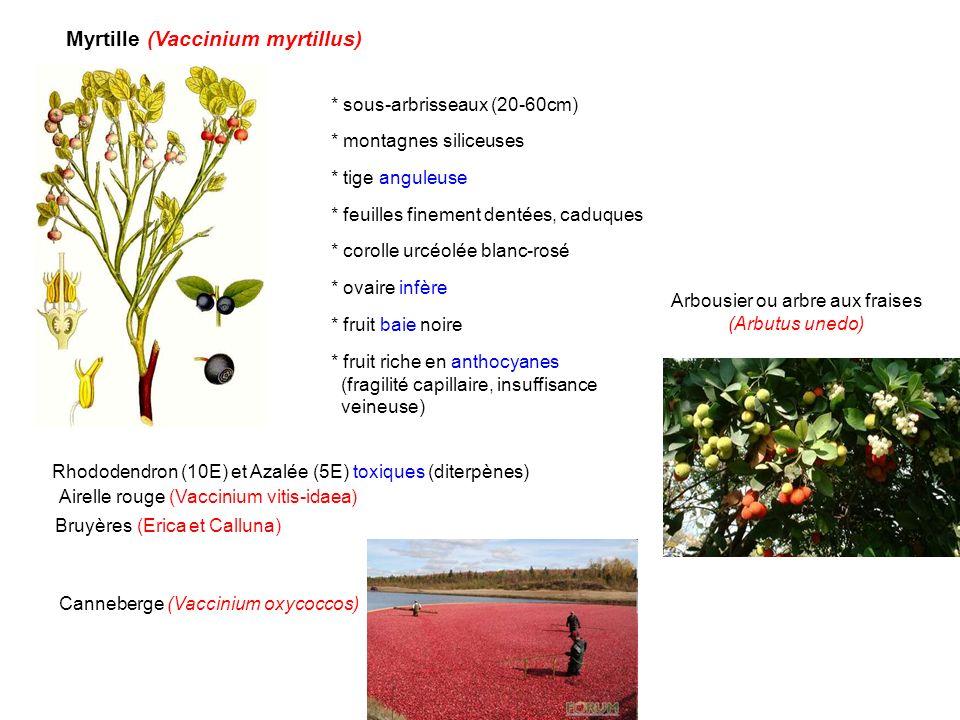 Myrtille (Vaccinium myrtillus) * sous-arbrisseaux (20-60cm) * montagnes siliceuses * feuilles finement dentées, caduques * corolle urcéolée blanc-rosé