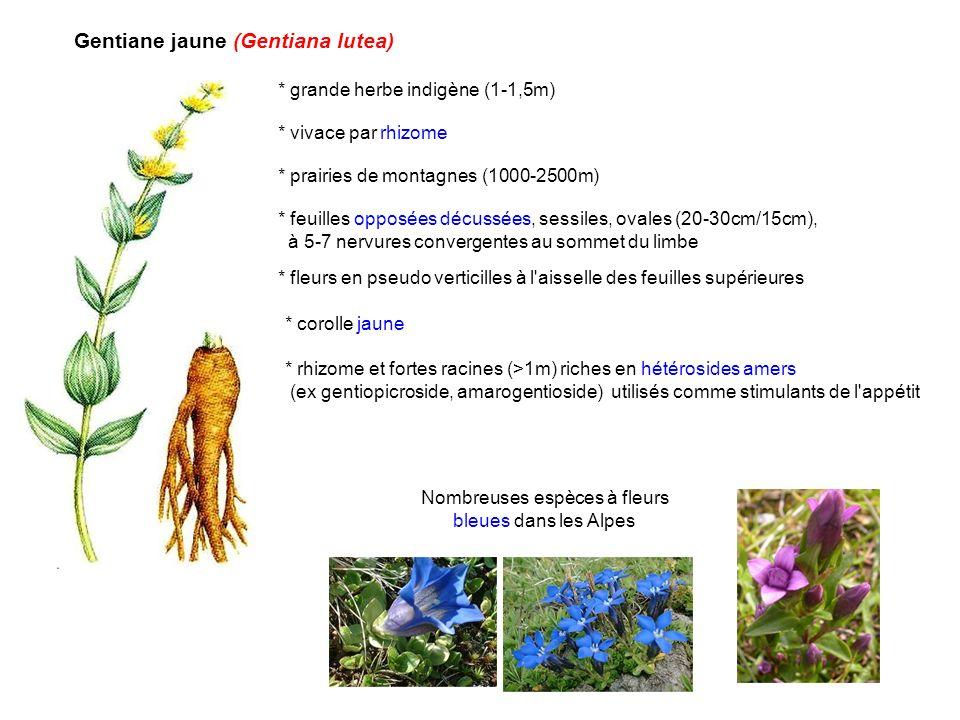 Gentiane jaune (Gentiana lutea) * grande herbe indigène (1-1,5m) * vivace par rhizome * prairies de montagnes (1000-2500m) * feuilles opposées décussé