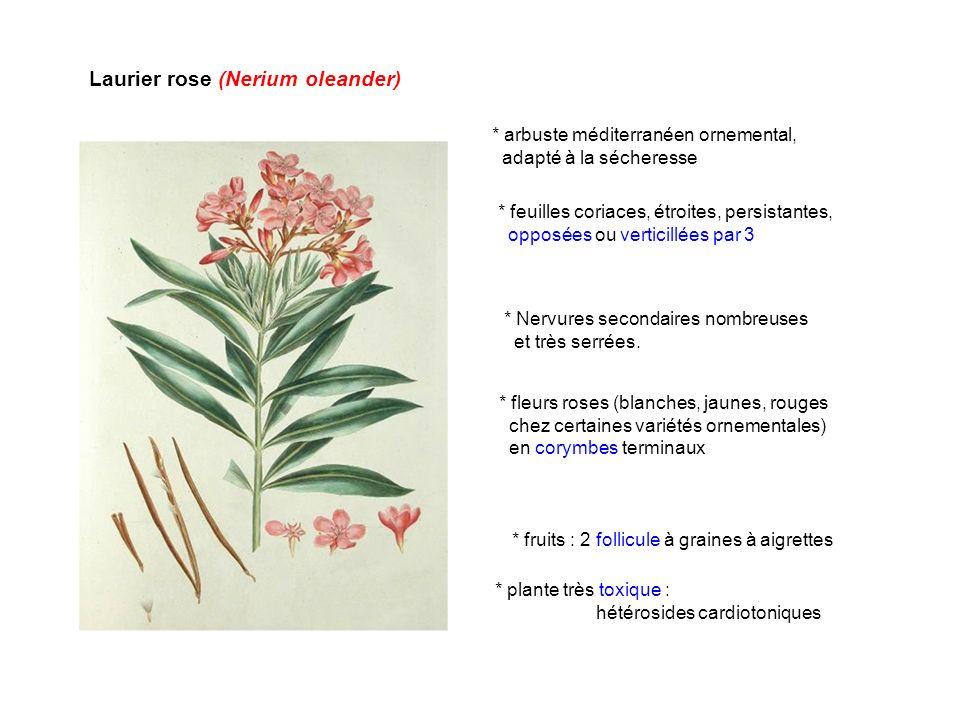 Laurier rose (Nerium oleander) * arbuste méditerranéen ornemental, adapté à la sécheresse * plante très toxique : hétérosides cardiotoniques * feuille