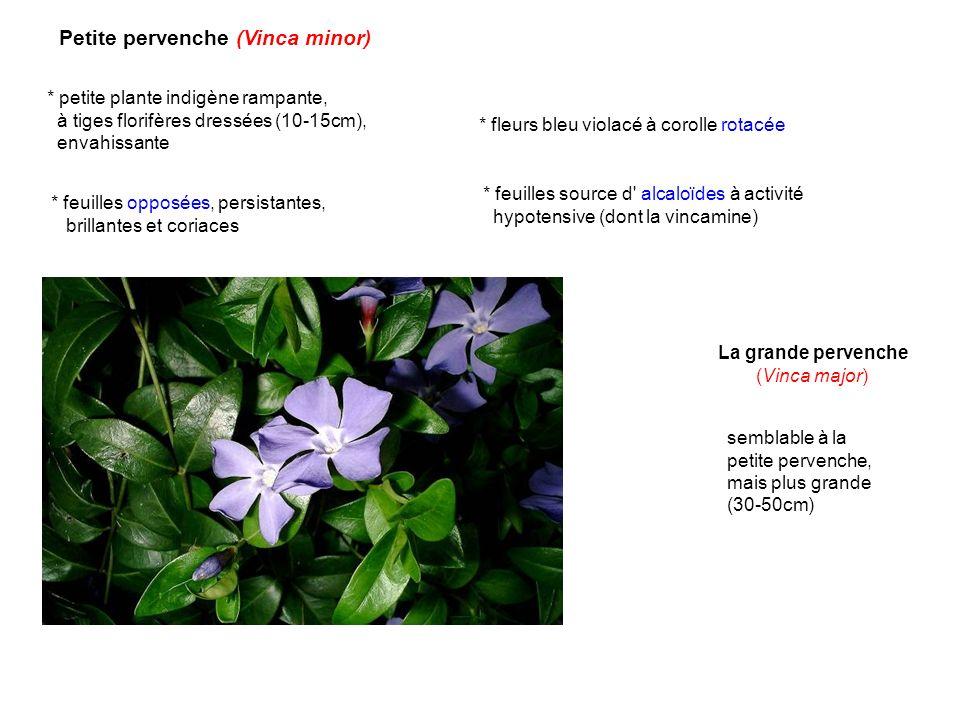 Petite pervenche (Vinca minor) * petite plante indigène rampante, à tiges florifères dressées (10-15cm), envahissante * feuilles source d' alcaloïdes