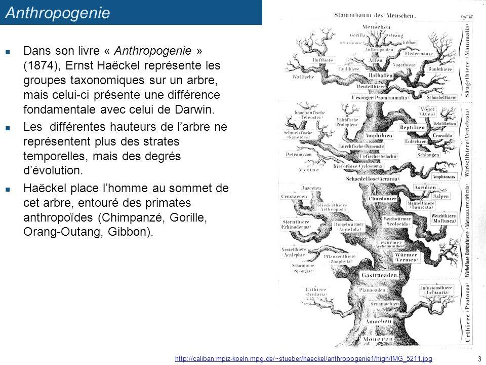 Anthropogenie Dans son livre « Anthropogenie » (1874), Ernst Haëckel représente les groupes taxonomiques sur un arbre, mais celui-ci présente une diff
