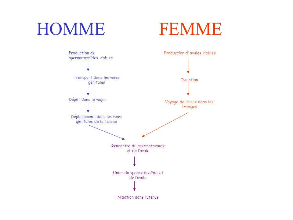 HOMMEFEMME Production de spermatozoïdes viables Transport dans les voies génitales Dépôt dans le vagin Déplacement dans les voies génitales de la femme Rencontre du spermatozoïde et de lovule Union du spermatozoïde et de lovule Nidation dans lutérus Production d ovules viables Ovulation Voyage de lovule dans les trompes