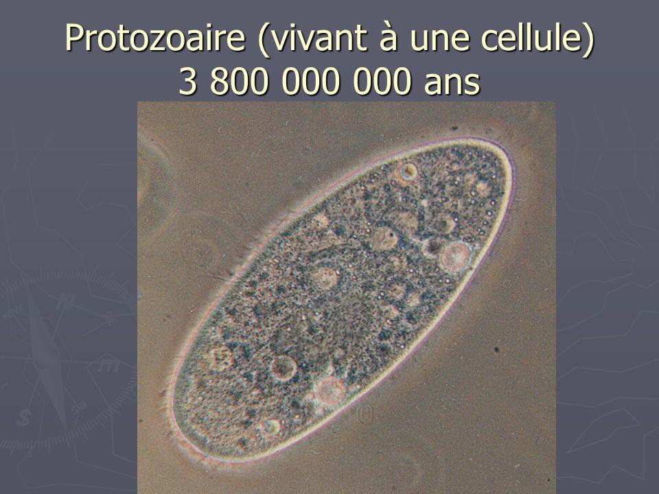 Protozoaire (vivant à une cellule) 3 800 000 000 ans
