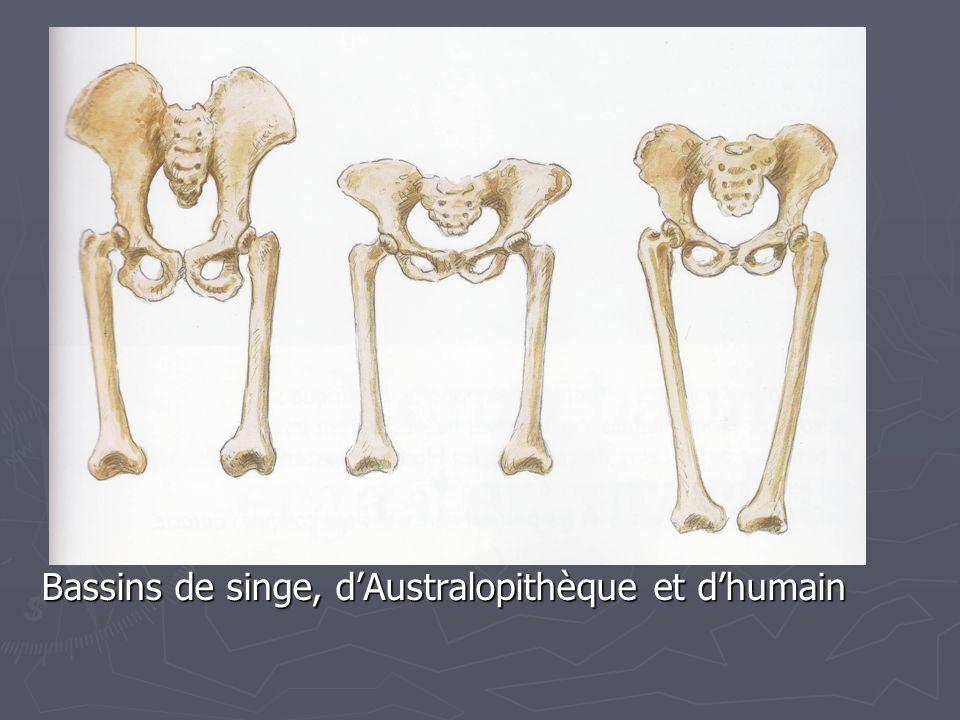 Bassins de singe, dAustralopithèque et dhumain