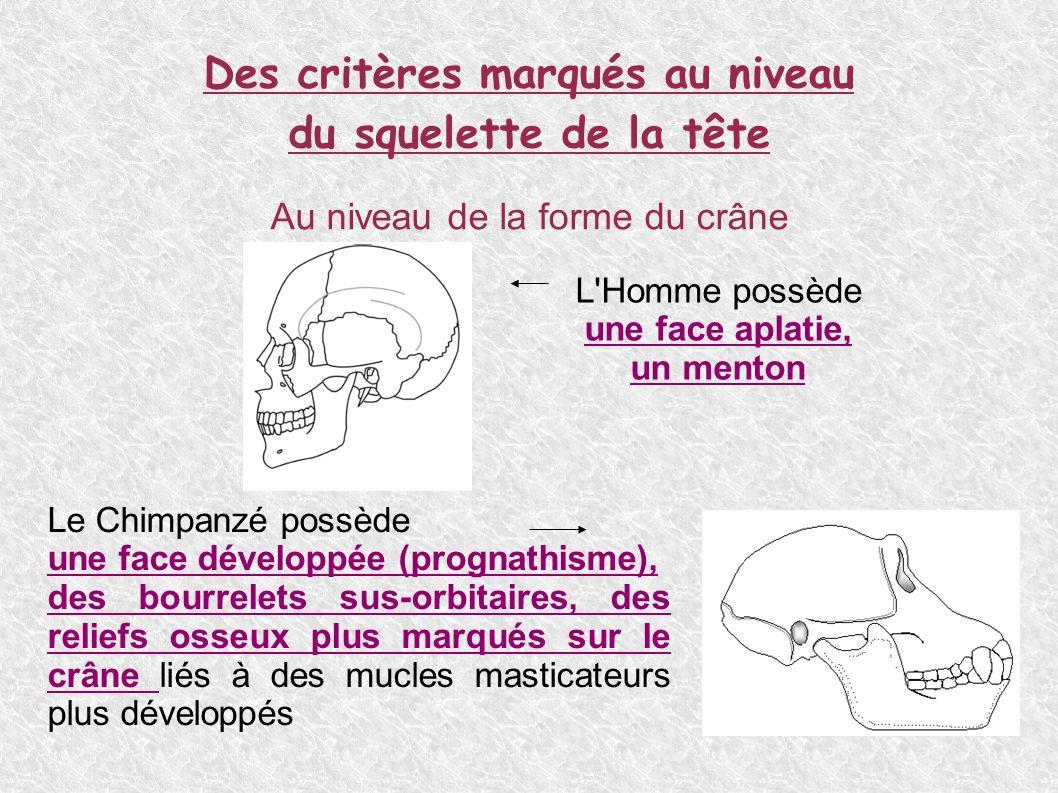Des critères marqués au niveau du squelette de la tête Au niveau de la forme du crâne L Homme possède une face aplatie, un menton Le Chimpanzé possède une face développée (prognathisme), des bourrelets sus-orbitaires, des reliefs osseux plus marqués sur le crâne liés à des mucles masticateurs plus développés