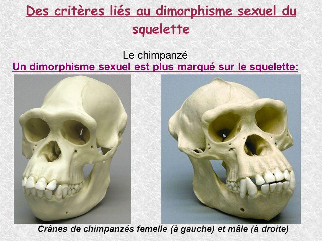 Des critères liés au dimorphisme sexuel du squelette Le chimpanzé Un dimorphisme sexuel est plus marqué sur le squelette: Bassins de chimpanzés femelle (à gauche) et mâle (à droite) Crânes de chimpanzés femelle (à gauche) et mâle (à droite)