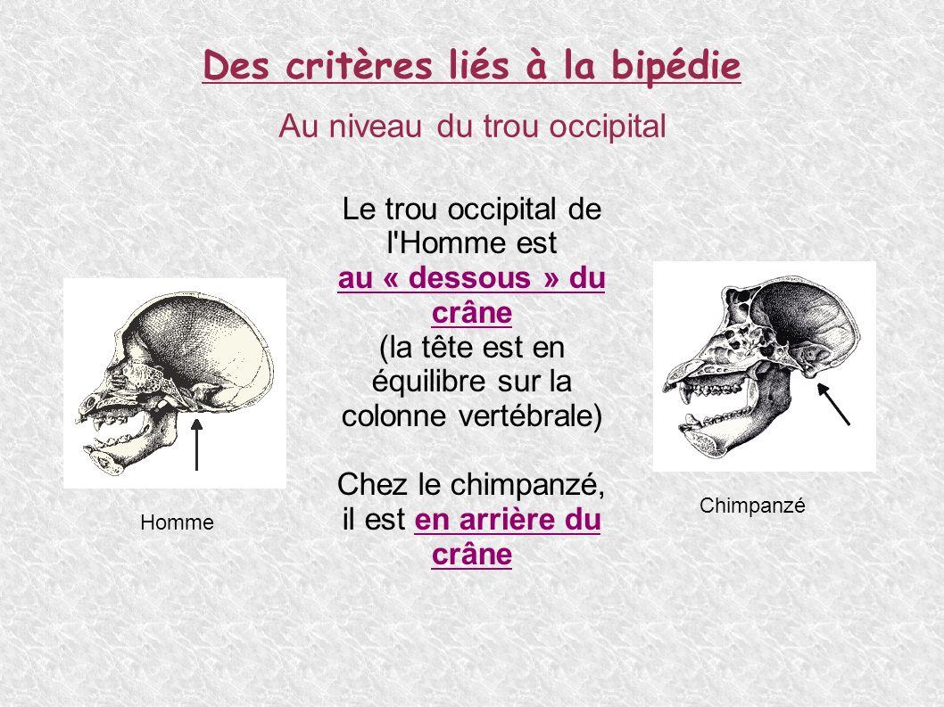 Des critères liés à la bipédie Au niveau de la voûte plantaire L Homme possède une voûte plantaire Chez le Chimpanzé, il n y a pas de voûte plantaire HommeChimpanzé