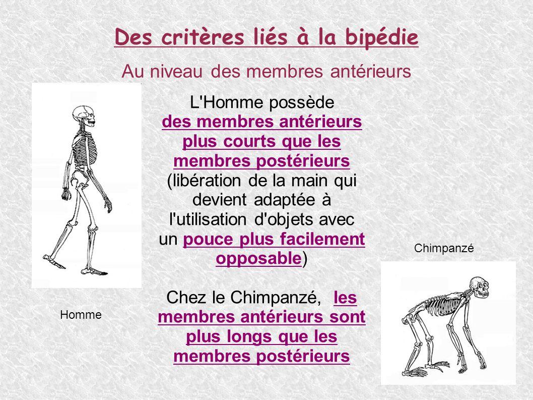 Des critères marqués au niveau du squelette de la tête Au niveau du volume cranien L Homme possède un volume cranien plus important que le Chimpanzé, Homme Chimpanzé 1400 cm 3 400 cm 3
