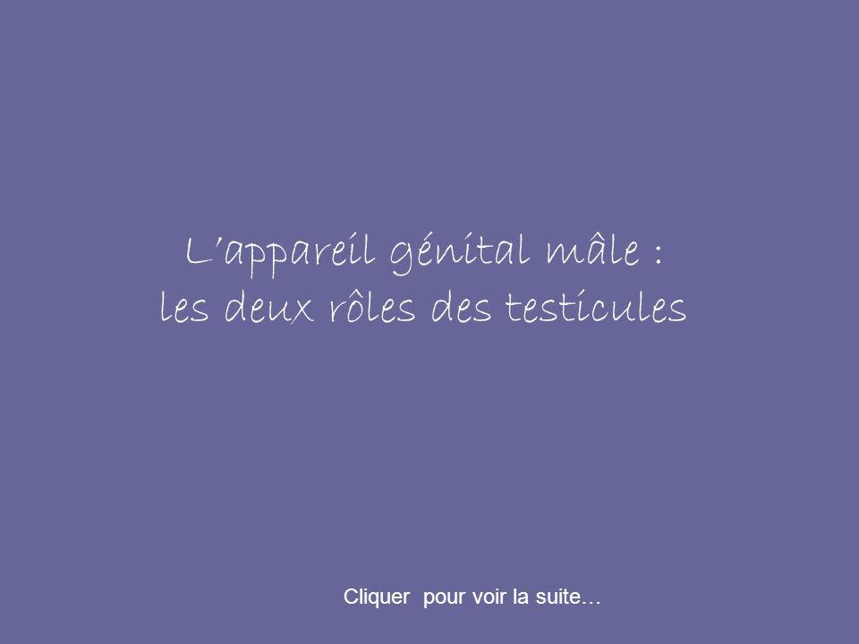 Lappareil génital mâle : les deux rôles des testicules Cliquer pour voir la suite…
